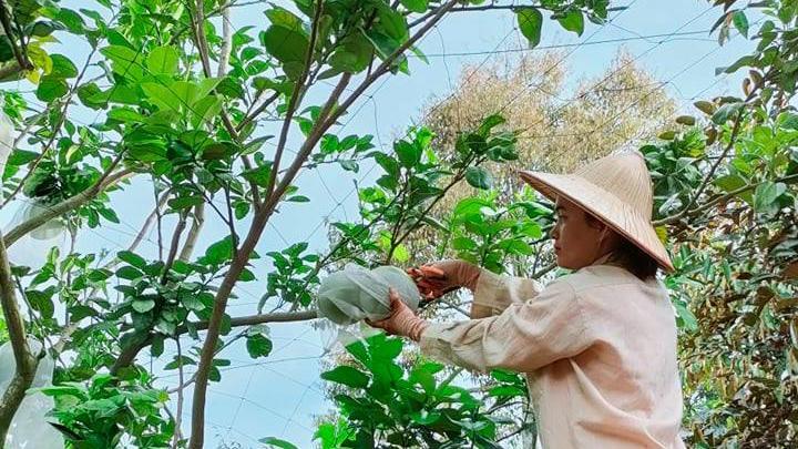 Đắk Lắk: Trên trồng bưởi da xanh, dưới trồng thêm cây gì mà mỗi ngày kiếm 200-300.000 đồng? - Ảnh 1.
