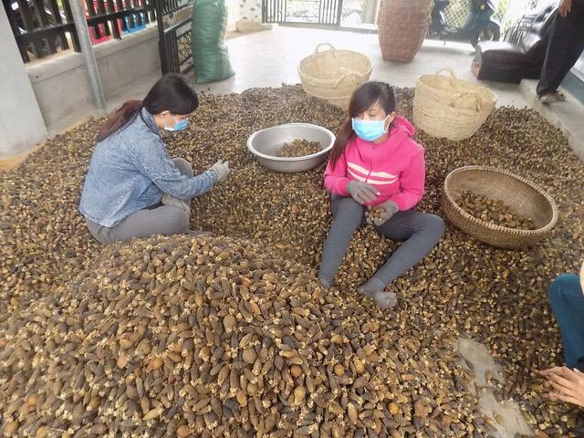 Trung Quốc lùng mua cau non, giá cau tăng chạm nóc nhưng đừng ham trồng nhiều, đây là lý do - Ảnh 2.