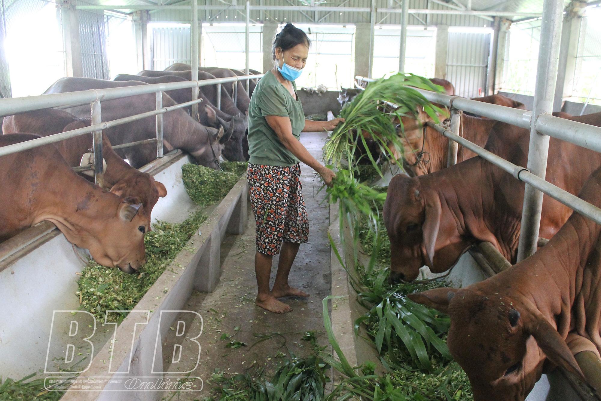 Thái Bình: Nuôi bò, nuôi trâu nhốt chuồng, ở nơi này nhà nào nuôi nhà đó khá giả, nuôi càng nhiều, lãi càng lớn - Ảnh 3.