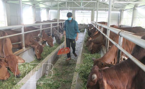 Thái Bình: Nuôi bò, nuôi trâu nhốt chuồng, ở nơi này nhà nào nuôi nhà đó khá giả, nuôi càng nhiều, lãi càng lớn - Ảnh 1.