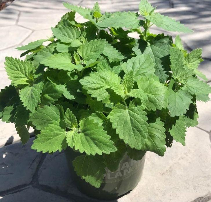 11 loại cây cảnh bạn nên trồng để vừa làm đẹp nhà vừa đuổi muỗi, côn trùng hiệu quả - Ảnh 4.
