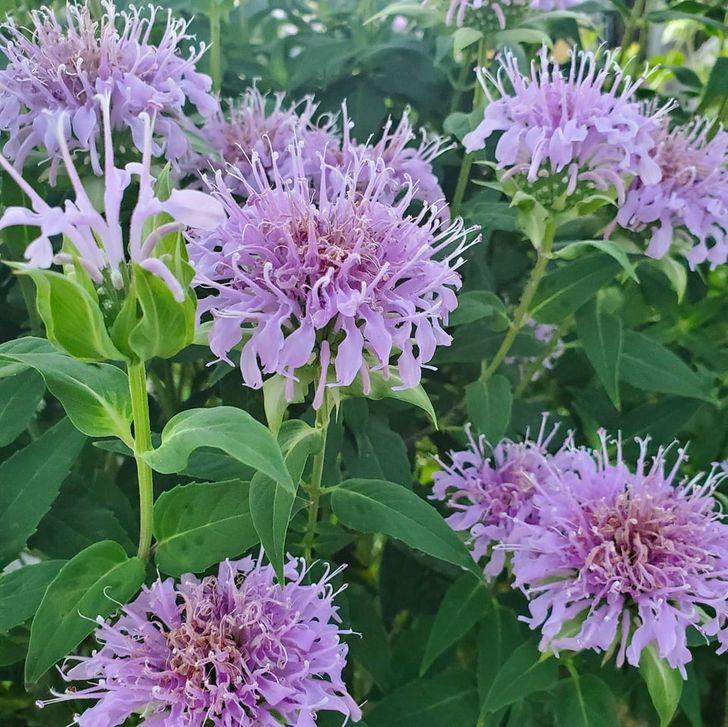 11 loại cây cảnh bạn nên trồng để vừa làm đẹp nhà vừa đuổi muỗi, côn trùng hiệu quả - Ảnh 5.