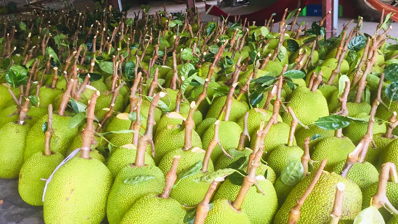 Giá mít Thái hôm nay 19/9: Giá tăng hay giảm, mùa mưa, mít ra đọt, trái non bị hụt dinh dưỡng thì làm sao? - Ảnh 1.
