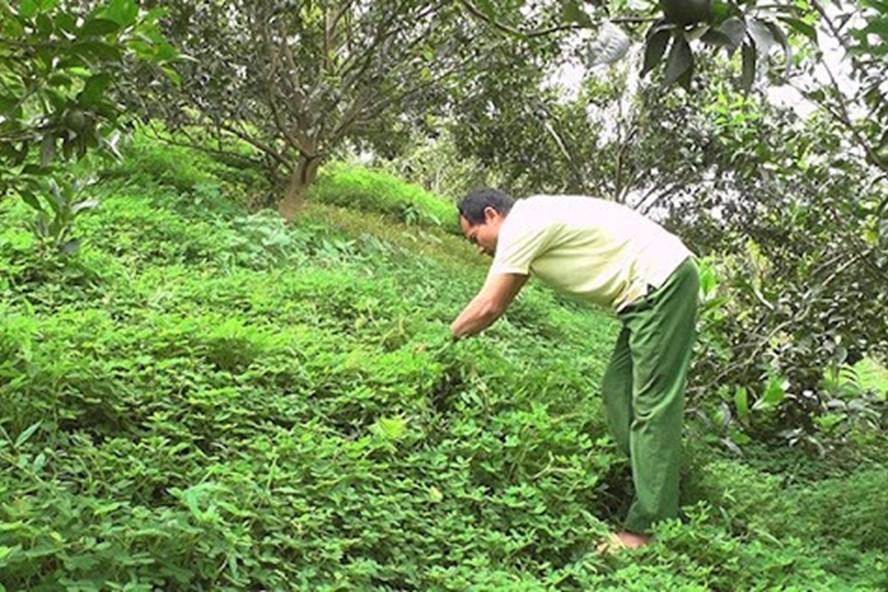 """Tuyên Quang: Nông dân ở vùng đất trù phú này """"nuôi"""" thứ cỏ dại Nam Mỹ tốt um trong vườn cam để làm gì? - Ảnh 1."""