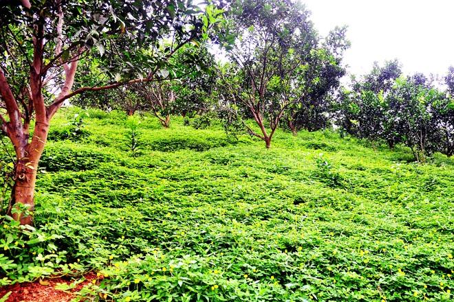 """Tuyên Quang: Nông dân ở vùng đất trù phú này """"nuôi"""" thứ cỏ dại Nam Mỹ tốt um trong vườn cam để làm gì? - Ảnh 2."""