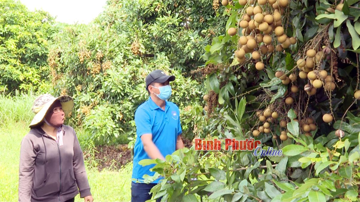 Bình Phước: Nông dân thiệt đơn thiệt kép với loại cây ra trái từng chùm này - Ảnh 1.