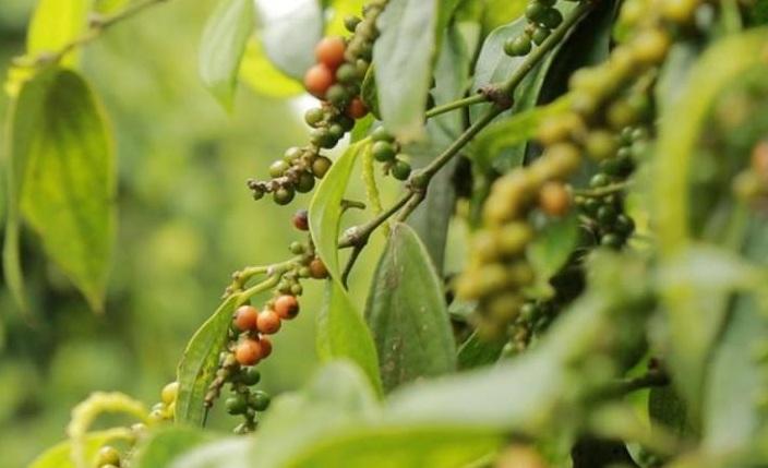 Giá nông sản hôm nay 22/9: Tiêu thấp nhất 76.000đ/kg, nguồn cung khan hiếm  - Ảnh 1.