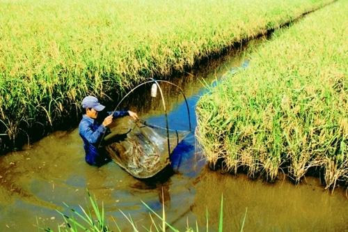 """Từ """"con tôm ôm cây lúa"""", cần tiến tới nâng tầm đặc sản """"lúa thơm, tôm sạch"""" - Ảnh 3."""