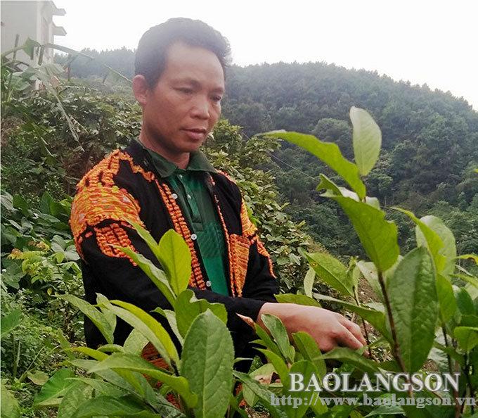"""Lạng Sơn: Ở vùng đất này dân trồng thứ cây xanh tốt quanh năm, ra thứ hoa vàng bán với """"giá vàng"""" - Ảnh 1."""