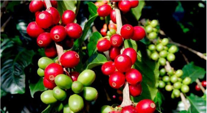 Giá xuất khẩu cà phê của Việt Nam sẽ còn tăng? - Ảnh 1.