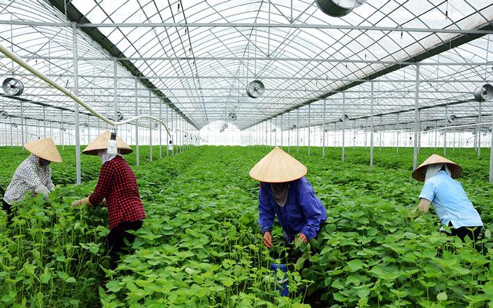 Vì sao cùng trồng lá tía tô, nơi cho không, còn tía tô Bắc Ninh xuất Nhật đếm tiền tỷ?
