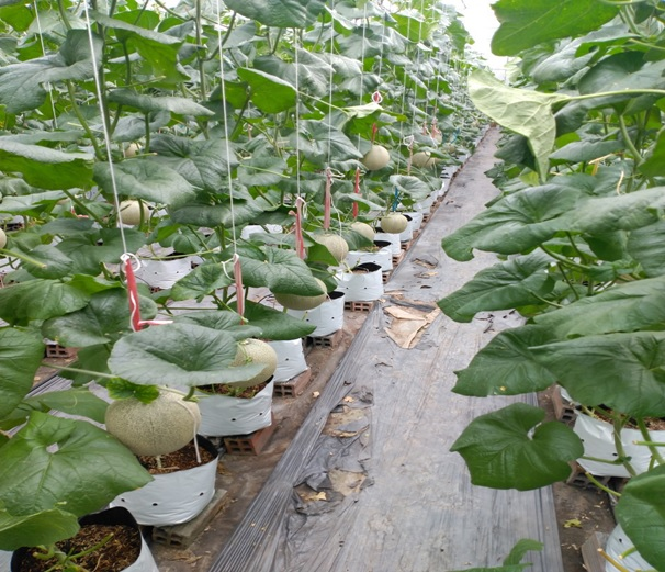 An Giang: Ở đây nông dân trồng thứ cây ra trái tròn như trái banh, giá bán có rẻ vẫn lời hơn cấy lúa - Ảnh 1.