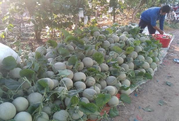An Giang: Ở đây nông dân trồng thứ cây ra trái tròn như trái banh, giá bán có rẻ vẫn lời hơn cấy lúa - Ảnh 2.