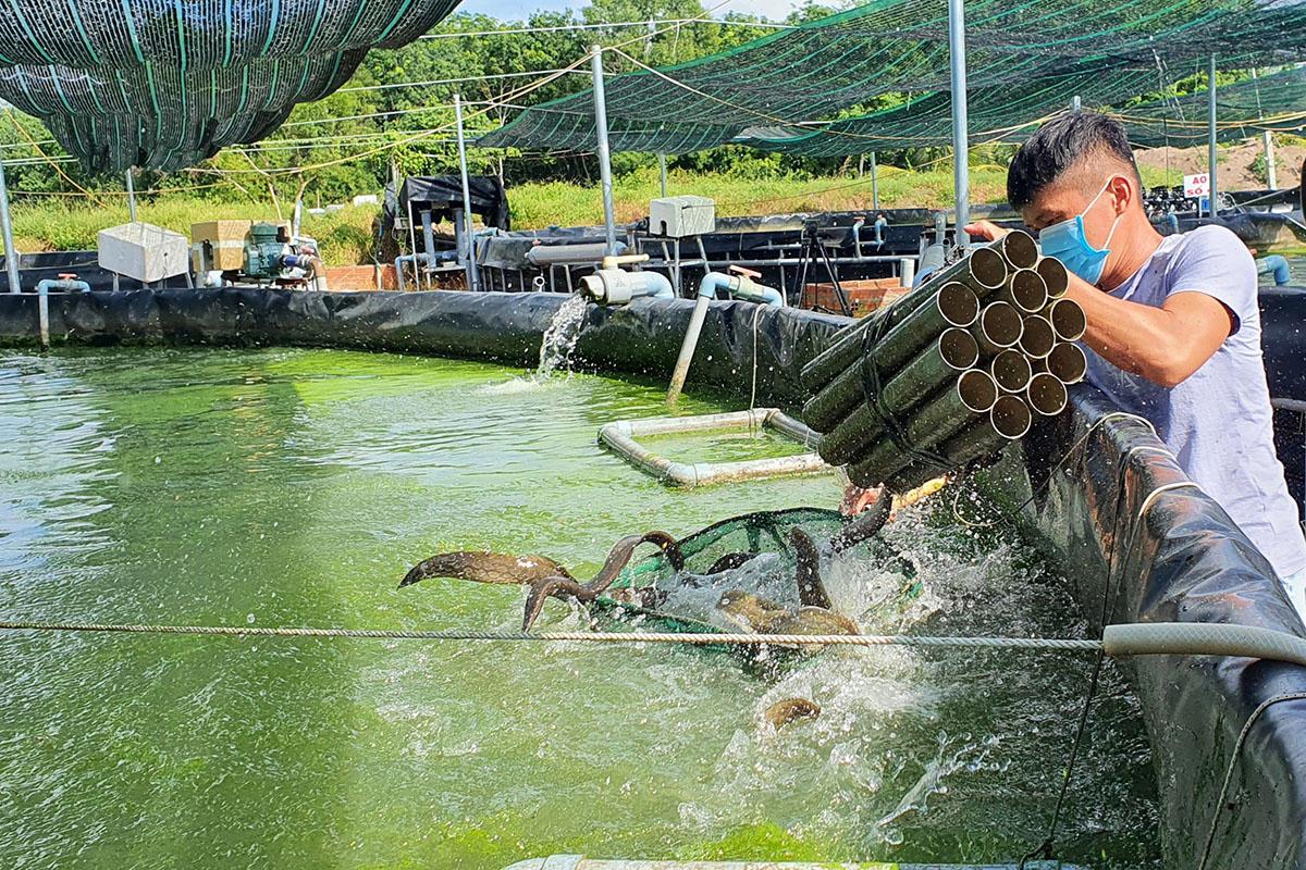 Loài cá đặc sản được ví bổ như nhân sâm, có tác dụng bổ thận tráng dương giá nửa triệu đồng/kg - Ảnh 3.