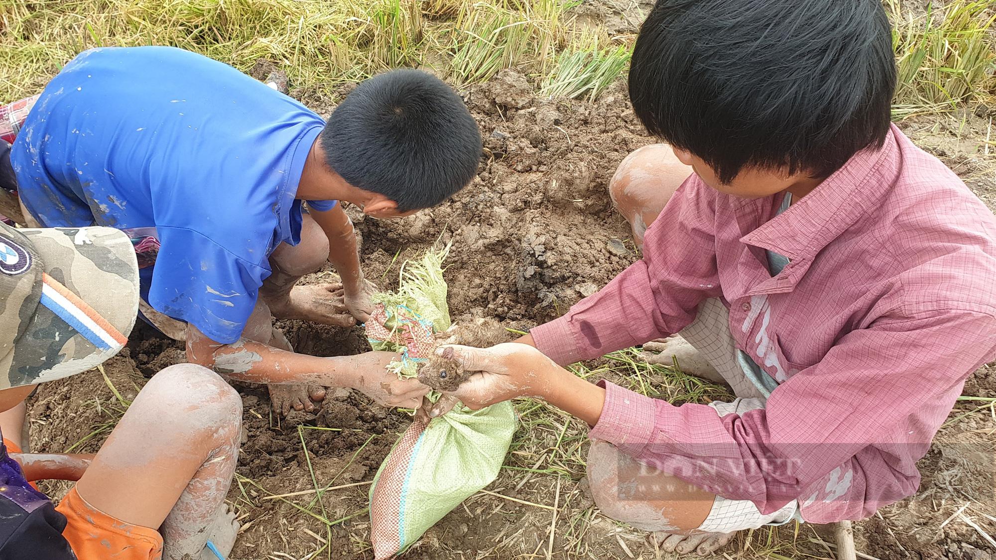 Thanh niên Cần Thơ rủ nhau đi bắt chuột đồng mùa thu hoạch lúa Thu Đông 2021 - Ảnh 13.