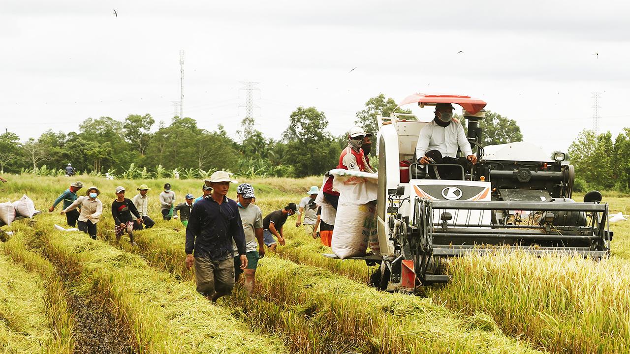 Ảnh, clip: Người dân Cần Thơ rủ nhau đi bắt chuột đồng trong những ngày đầu thu hoạch lúa Thu Đông 2021 - Ảnh 1.