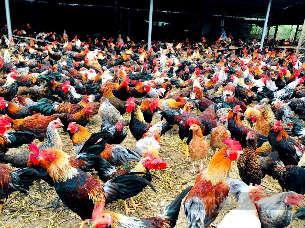 Tiền Giang: Nuôi giống gà hiếu chiến không để chọi mà bán thịt, mỗi năm anh nông dân lời cả tỷ đồng - Ảnh 1.