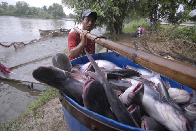 Ngành cá tra đang đuối sức, tồn đọng, xuất khẩu sụt giảm: Chuyên gia hiến kế giải pháp - Ảnh 1.