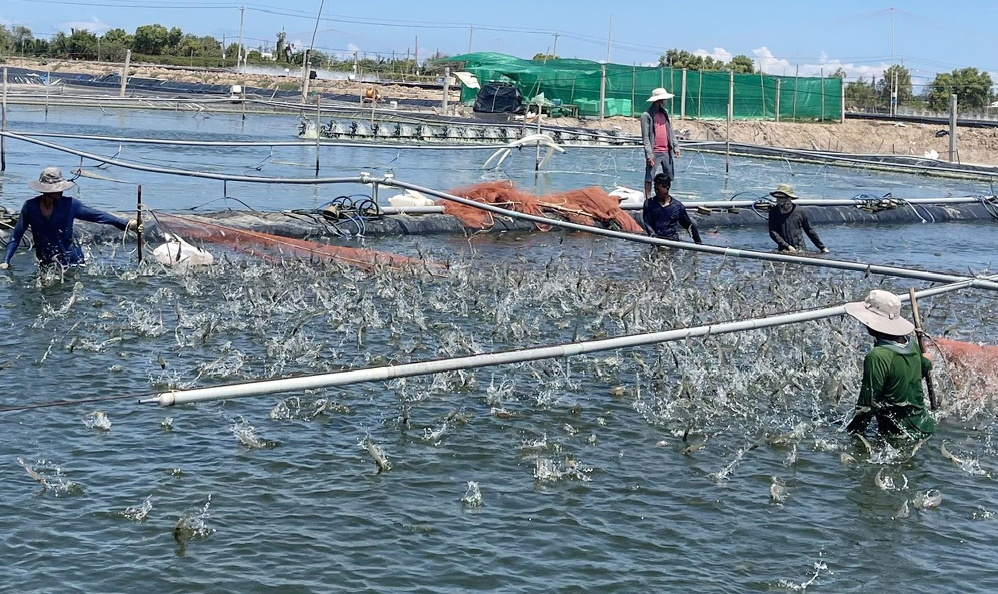 Nhà máy thủy sản ở miền Tây gấp rút hoạt động trở lại - Ảnh 1.