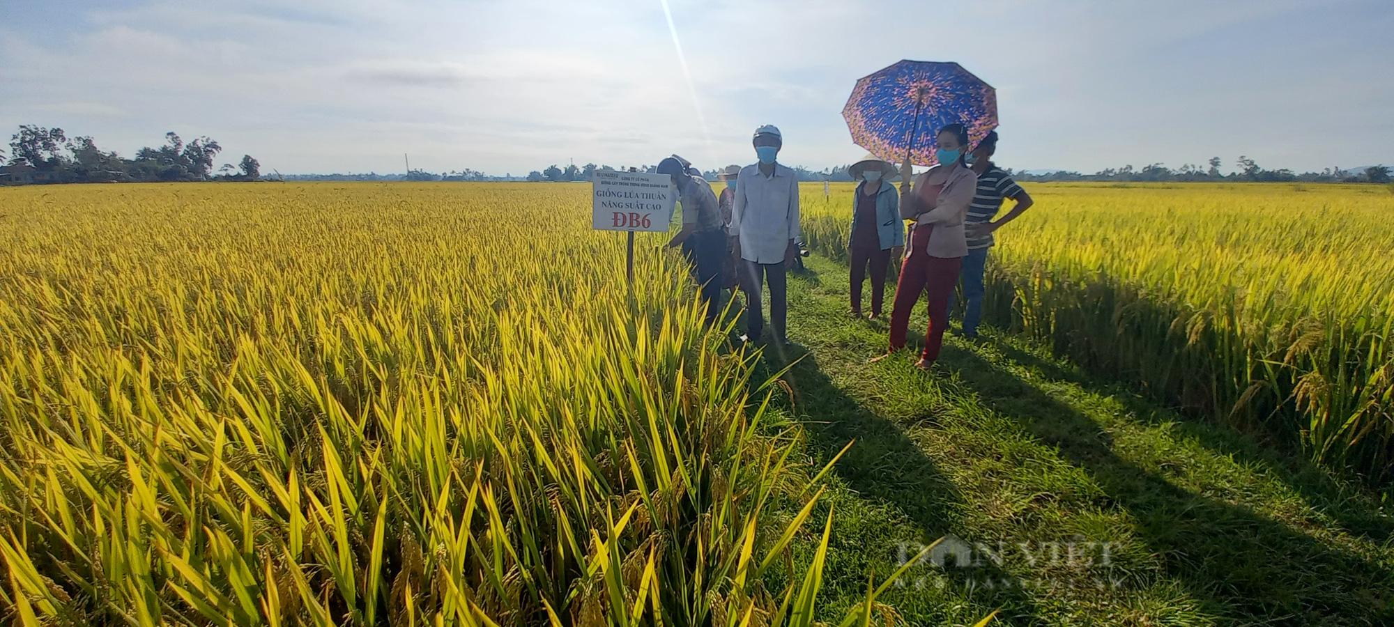 Quảng Ngãi: Nông dân phấn khởi với các giống lúa mới của Vinaseed chống chịu được thời tiết khắc nghiệt - Ảnh 5.
