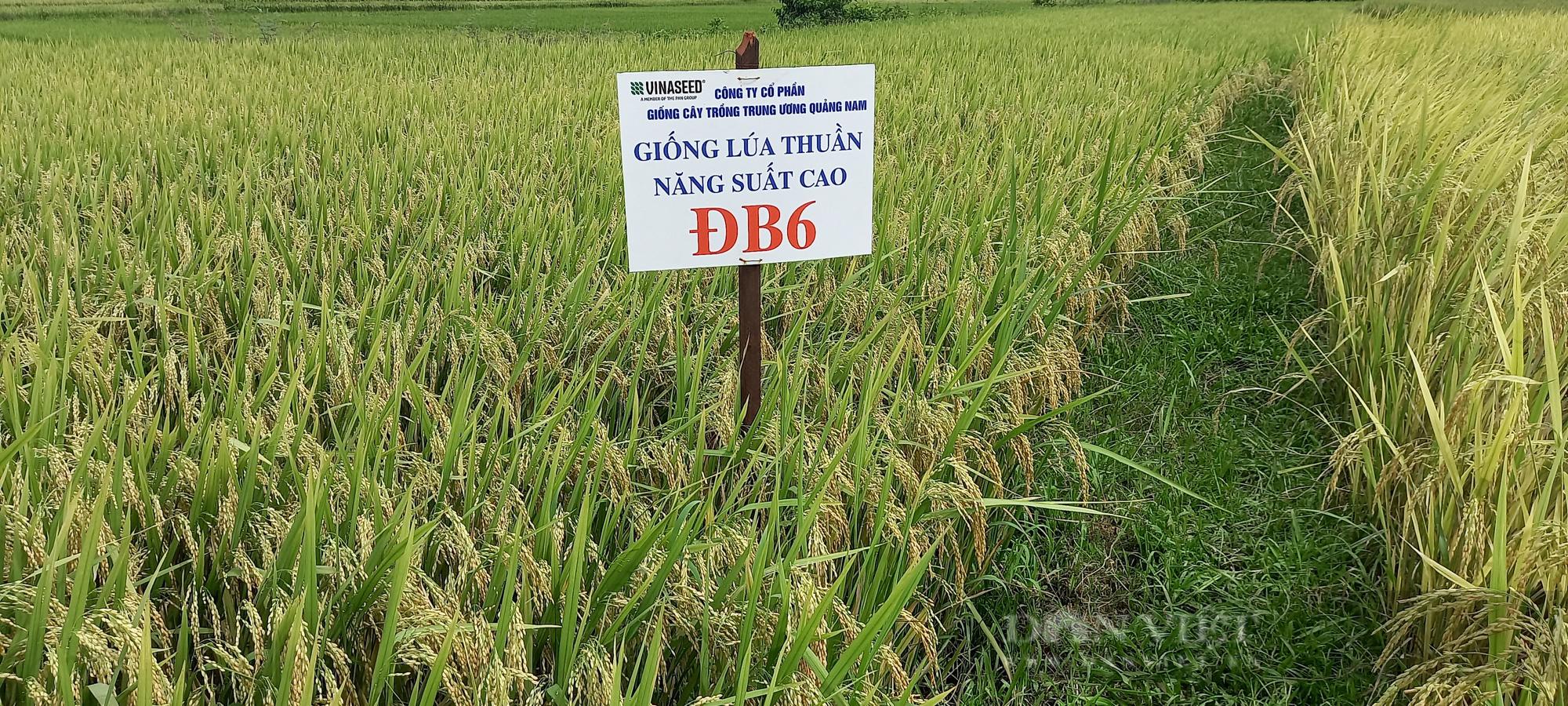 Quảng Ngãi: Nông dân phấn khởi với các giống lúa mới của Vinaseed chống chịu được thời tiết khắc nghiệt - Ảnh 6.