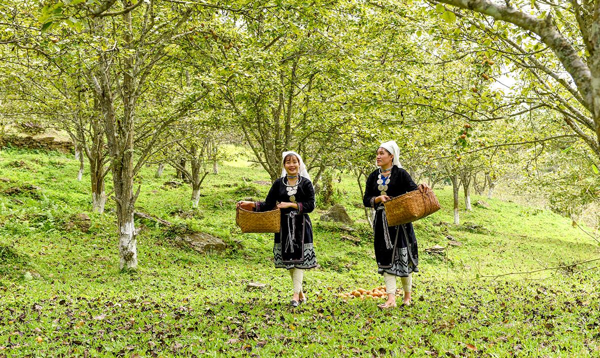 Tuyên Quang: Ở nơi này, dân trồng thứ cây đặc sản, tới mùa trái treo lúc lỉu, vườn đồi đẹp như phim - Ảnh 3.