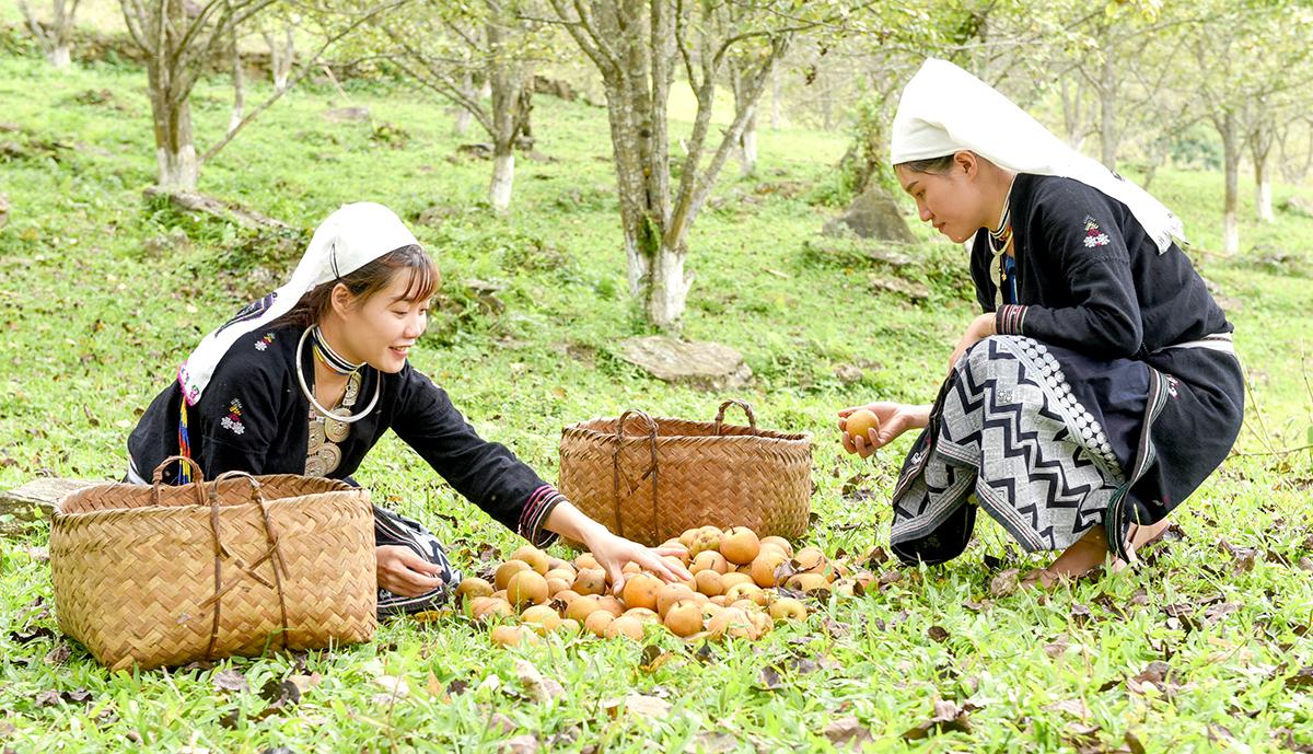 Tuyên Quang: Ở nơi này, dân trồng thứ cây đặc sản, tới mùa trái treo lúc lỉu, vườn đồi đẹp như phim - Ảnh 4.