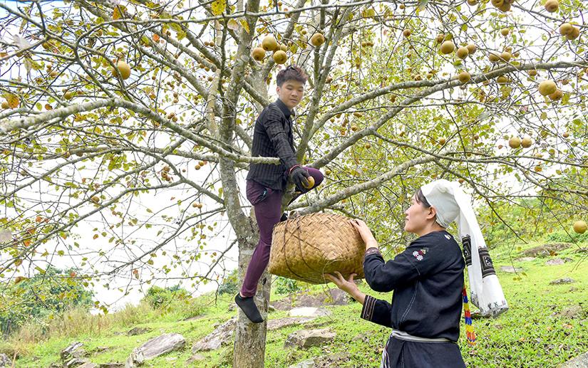 Tuyên Quang: Ở nơi này, dân trồng thứ cây đặc sản, tới mùa trái treo lúc lỉu, vườn đồi đẹp như phim - Ảnh 5.