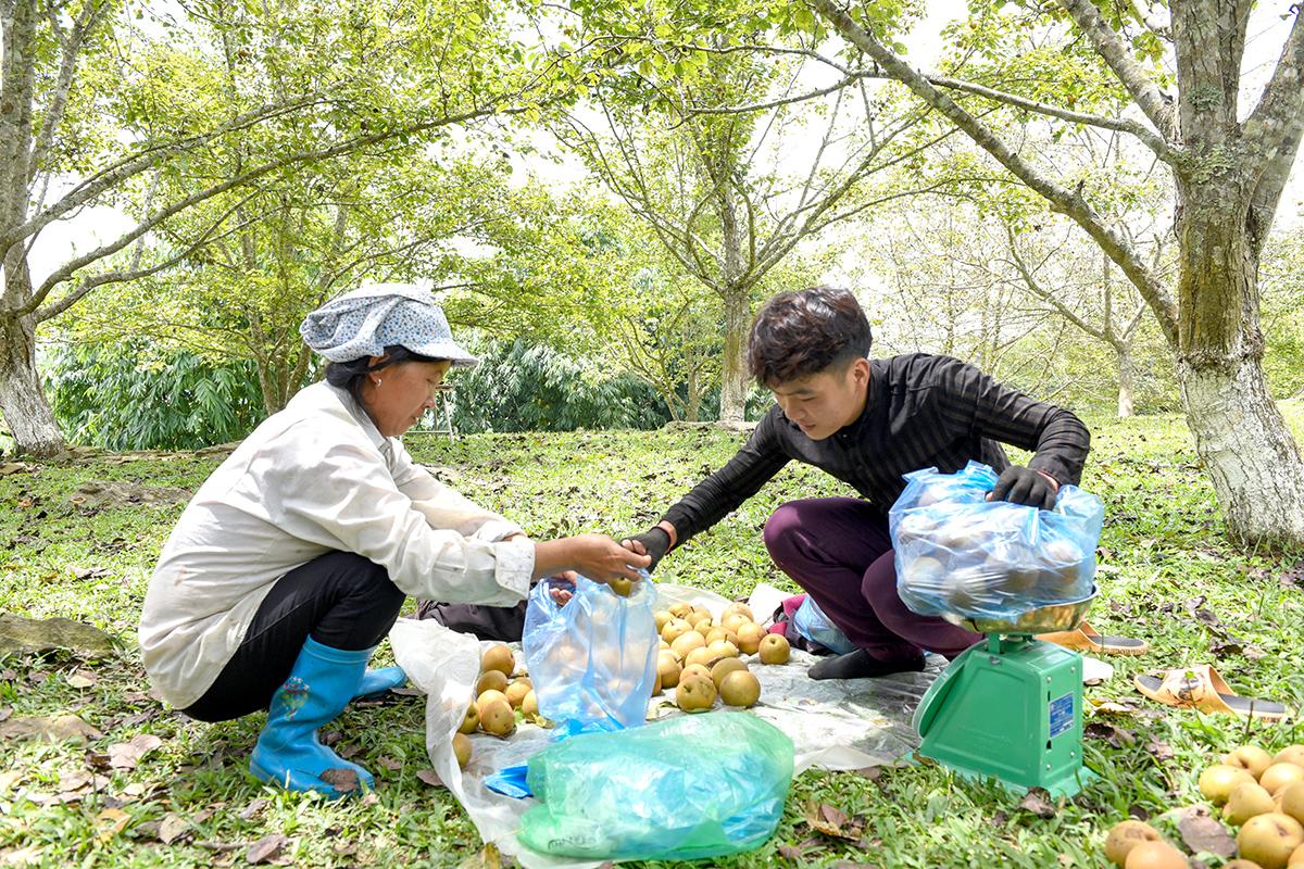 Tuyên Quang: Ở nơi này, dân trồng thứ cây đặc sản, tới mùa trái treo lúc lỉu, vườn đồi đẹp như phim - Ảnh 7.