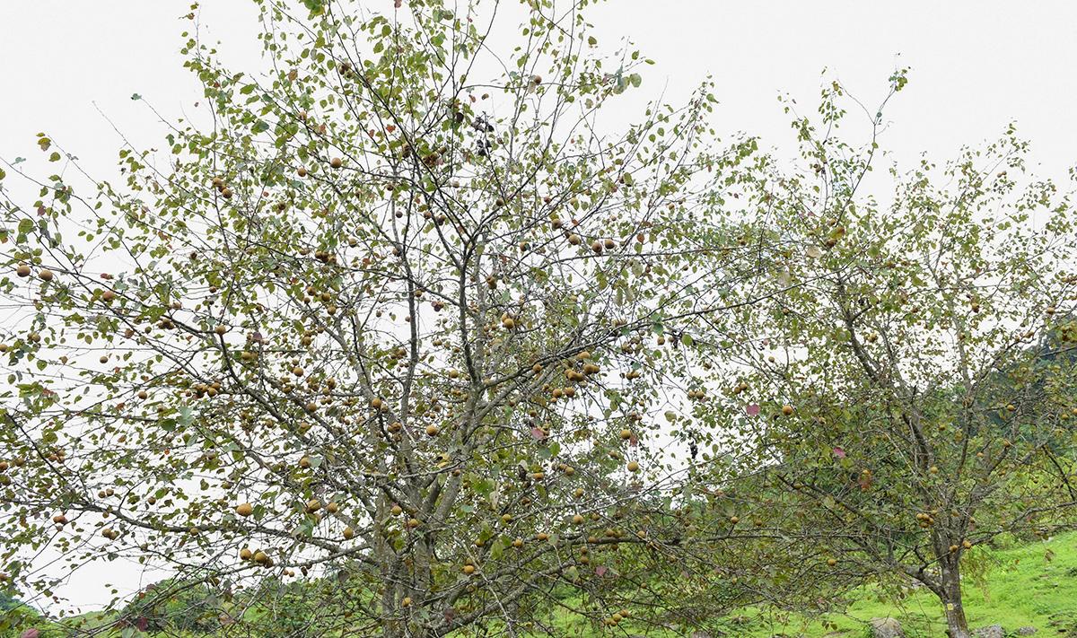 Tuyên Quang: Ở nơi này, dân trồng thứ cây đặc sản, tới mùa trái treo lúc lỉu, vườn đồi đẹp như phim - Ảnh 1.