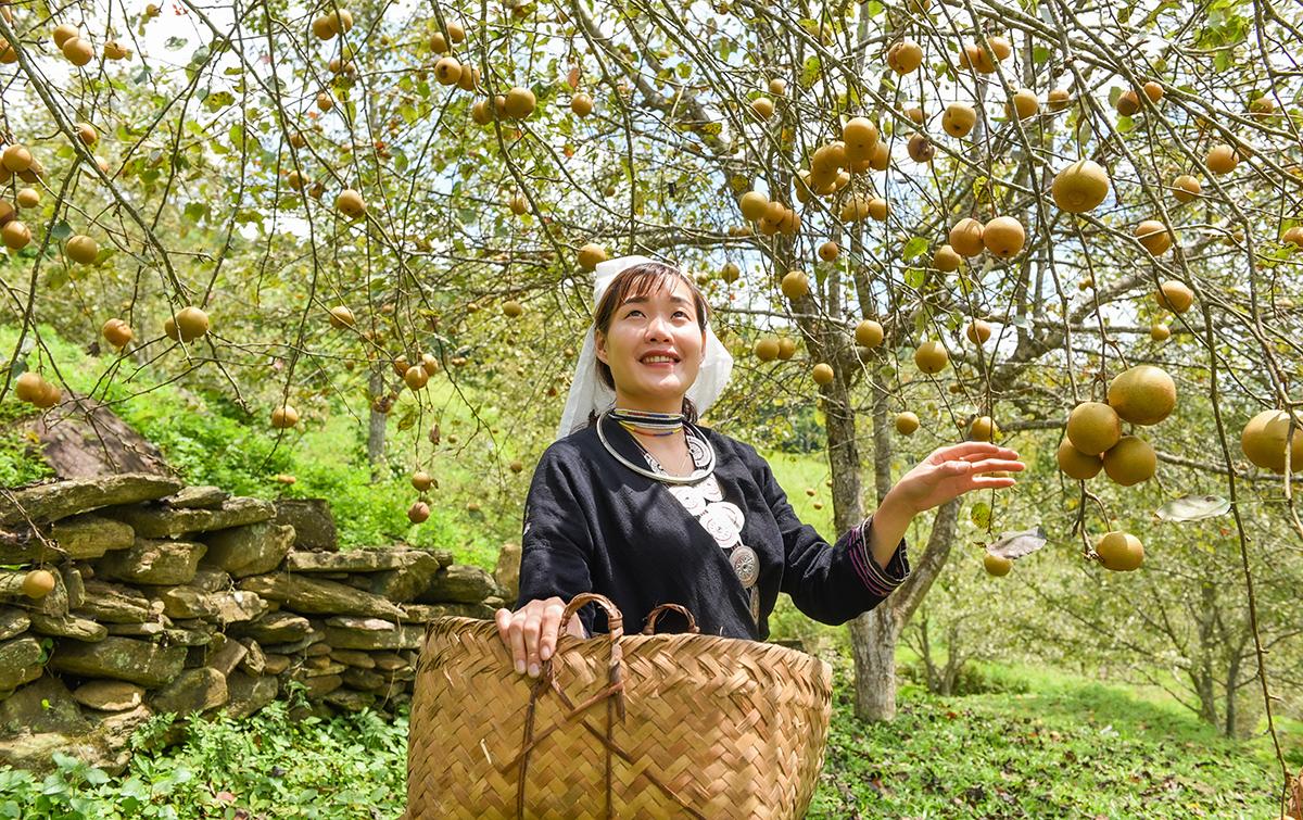 Tuyên Quang: Ở nơi này, dân trồng thứ cây đặc sản, tới mùa trái treo lúc lỉu, vườn đồi đẹp như phim - Ảnh 2.