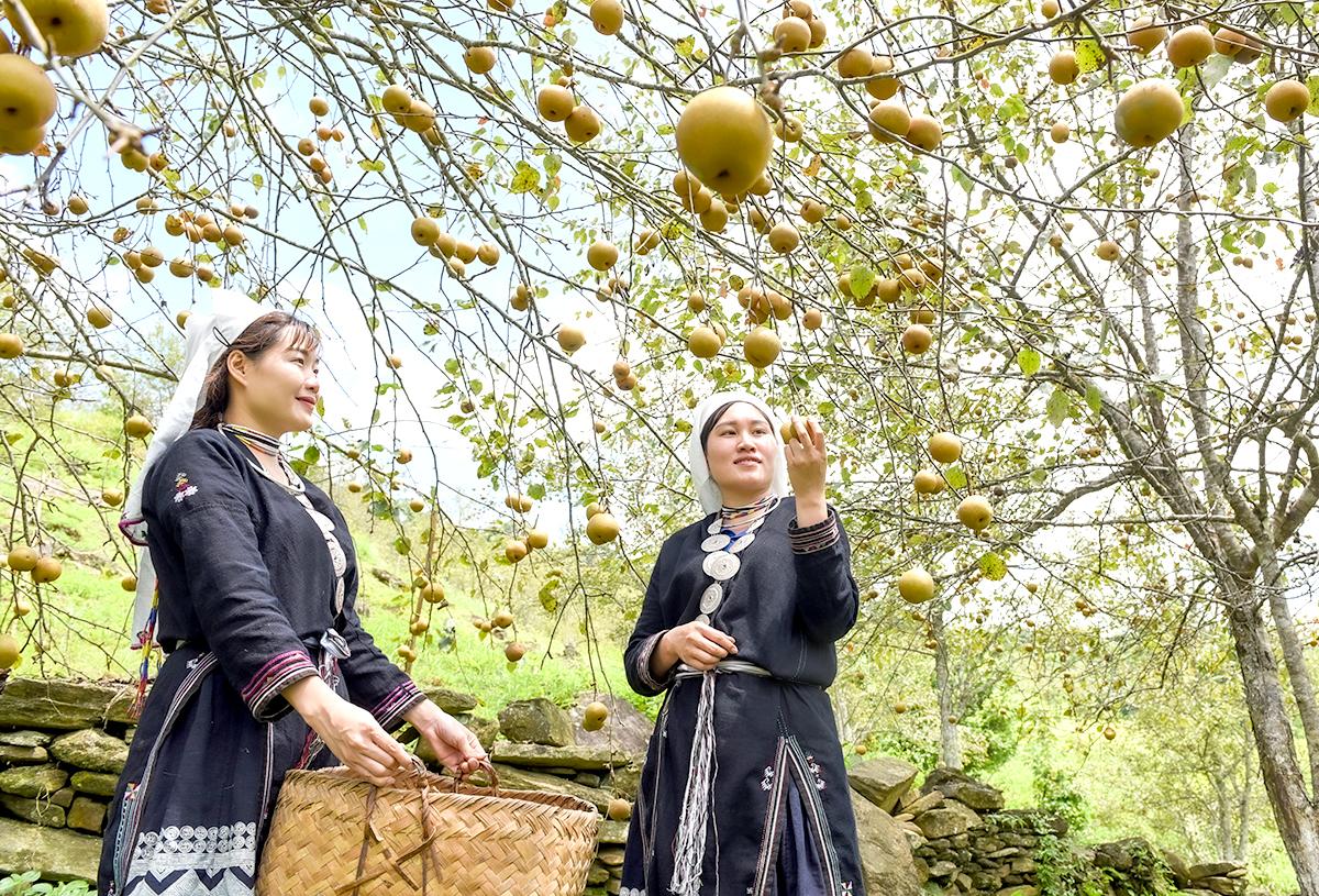 Tuyên Quang: Ở nơi này, dân trồng thứ cây đặc sản, tới mùa trái treo lúc lỉu, vườn đồi đẹp như phim - Ảnh 6.