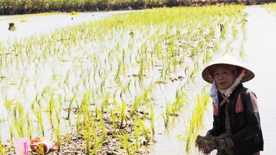 ĐBSCL: Cứ nói mô hình tôm lúa là hay, có lội xuống ruộng mới thấy nông dân còn bấp bênh thế này - Ảnh 1.