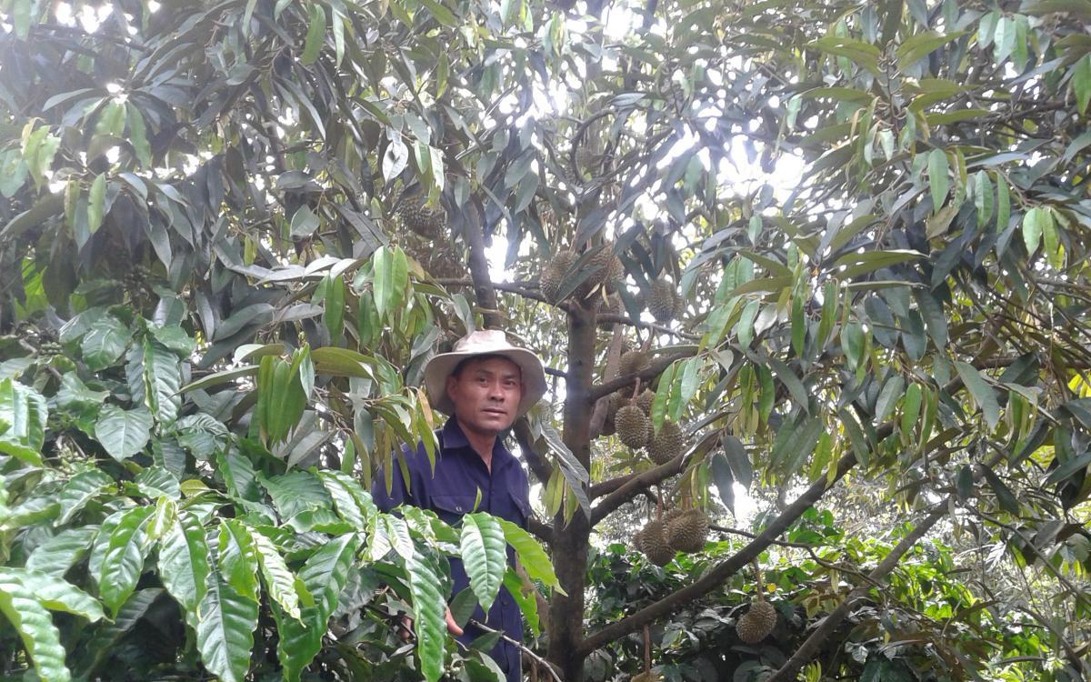 Đắk Lắk: Trồng sầu riêng chất lượng cao, dịch giã như thế giá bán giảm nhưng nông dân vẫn lãi hàng trăm triệu