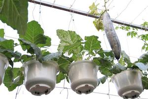 Nữ giảng viên chia sẻ bí quyết trồng rau sân thượng