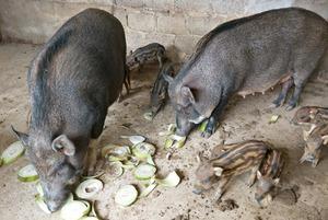 Lợn công nghiệp ngắc ngoải lợn đặc sản cháy hàng