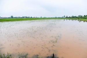 200 ha lúa ngập chìm trong nước do mưa lớn kéo dài
