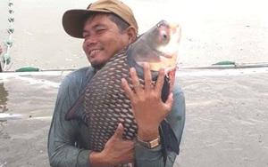 Long An: Nông dân nuôi cá quý hiếm to bự, nuôi cá koi lạ mắt, cứ bắt bán 1 con thu hàng triệu đồng