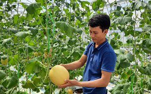 Quảng Ninh: Trồng dưa lưới tiêu chuẩn VietGAP, bỏ túi tiền tỷ mỗi năm
