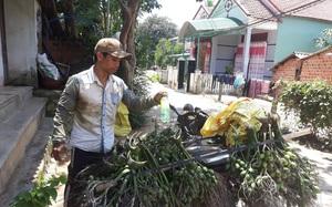 Bình Định: Giá cau tươi tăng gấp 4 lần, nông dân trồng cau giàu, lái gạ mua cả cau non, dân sợ không bán