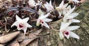Lai Châu: Tìm thấy giống lan Hoàng Thảo Thạch Hộc Tía chưa từng có, mũi và 5 cánh của hoa trắng như tuyết