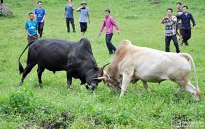 """Nghệ An: Một """"Giải"""" đấu bò gay cấn, ly kỳ thu hút hàng trăm người xem ở huyện Kỳ Sơn"""