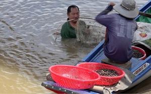 Đồng Tháp: Mùa nước nổi dân lặn sâu xuống sông xúc cả tạ con này, kiếm vài trăm ngàn mỗi ngày