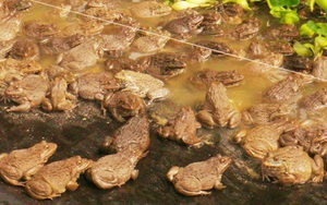 Sóc Trăng: Về quê nuôi ếch tuần hoàn theo kiểu độc lạ, cô Nam Phương khiến hàng xóm láng giềng phục sát đất