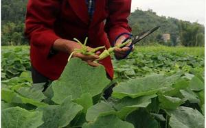 """Lạng Sơn: Lạ, trồng bí trái chưa kịp """"dậy thì thành công"""" đã cắt, có bao nhiêu bán hết bấy nhiêu"""