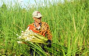 Cà Mau: Loại cỏ mọc hoang trắng nõn trắng nà đang tăng giá dù chưa đến Tết