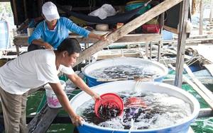 Kiên Giang: Rủ nhau góp vốn nuôi cá đặc sản trong lồng, nông dân bất ngờ nhận được điều này