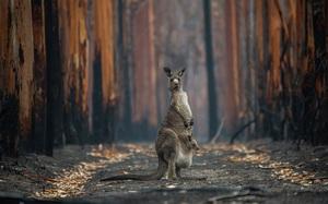 Hai mẹ con kangaroo sống sót sau vụ cháy lọt top ảnh thiên nhiên đẹp nhất năm 2020