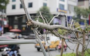 Xót xa nhìn hàng cây phong lá đỏ chết khô trên đường phố Hà Nội