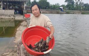 Thái Bình: Tròn mắt trước ao nuôi cá rô đồng đặc sản, bắt bán cả trăm tấn/năm, ông nông dân này giàu sụ